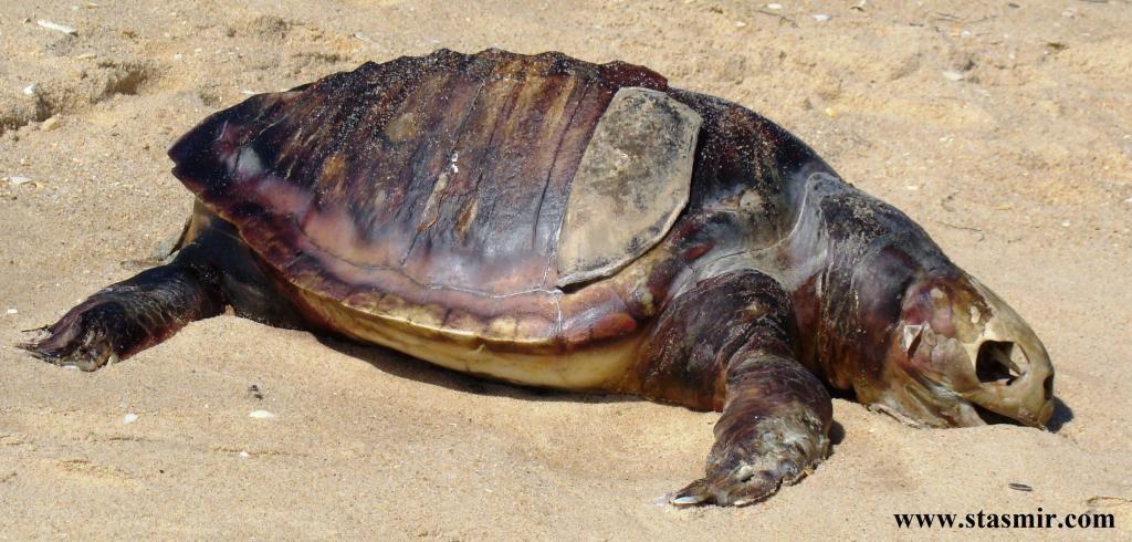 Turtle, черепаха, Фару, Португалия, река Формоза, Photo Stasmir, Stanislav Smirnov