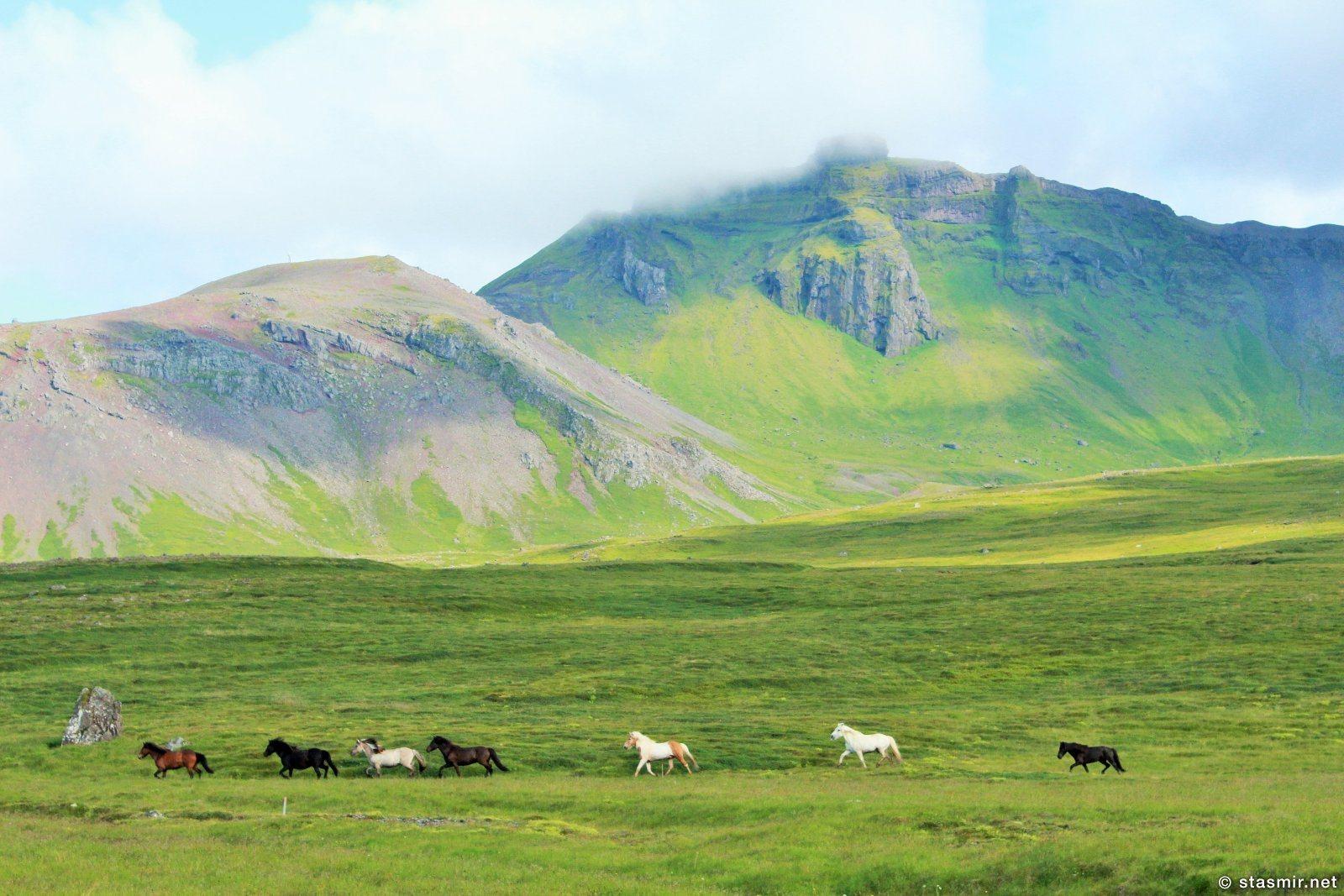 исландские лошадки, полуостров снайфедльснес, Западная Исландия, Photo Stasmir