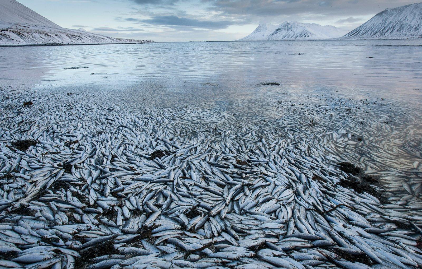 Iceland Fish Deaths (AP Photo/Brynjar Gauti)