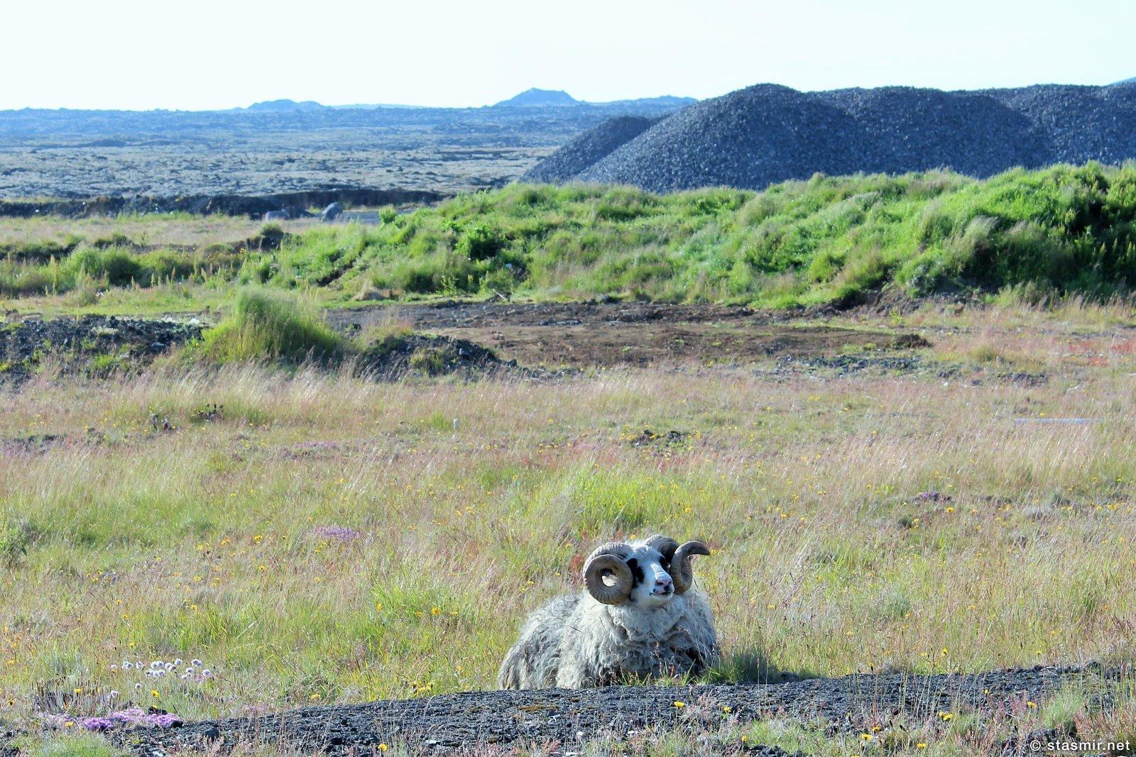 сландский баран на полуострове Рейкьянес, Тур Рейкьянес и Голубая Лагуна, Photo Stasmir, Фото Стасмир