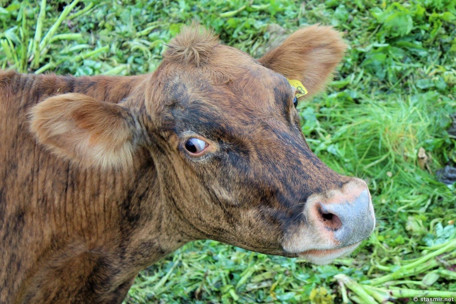 Það eru mörg undur í kýrhöfuð переводится как В голове у коровы много чудес, фото Стасмир, Photo Stasmir