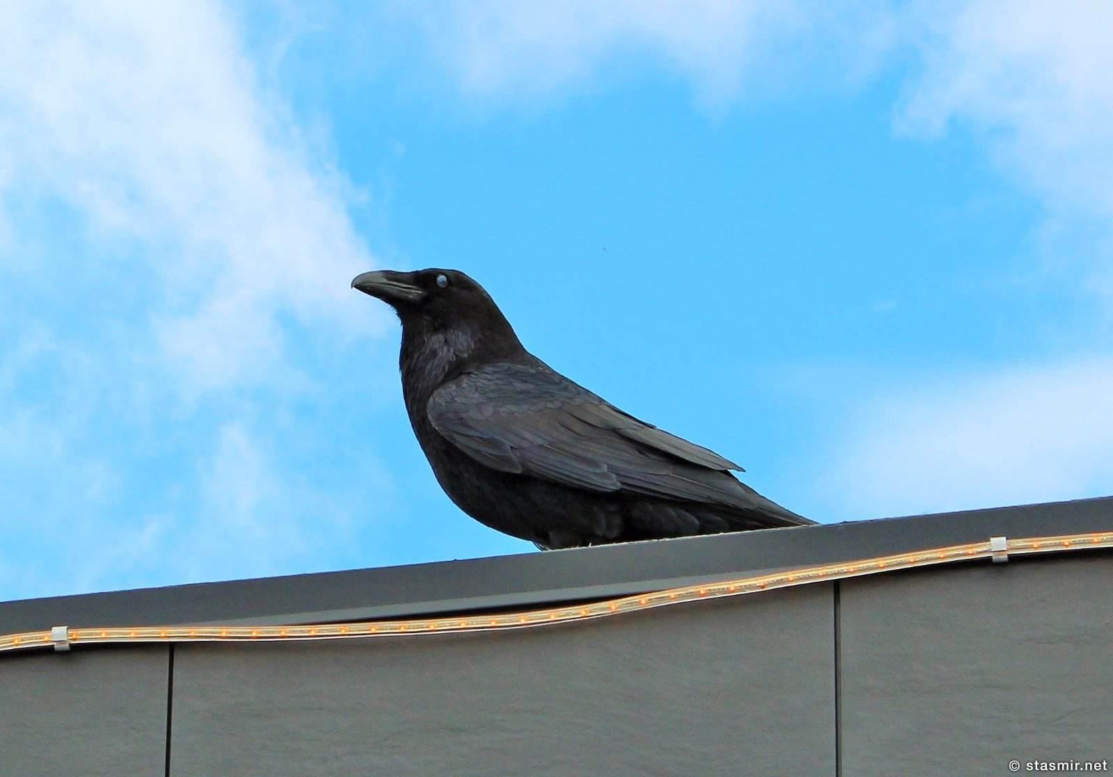 Ворон Одина перманентно установлен на крыше кафе перед Золотым Водопадом, фото Стасмир, Photo Stasmir