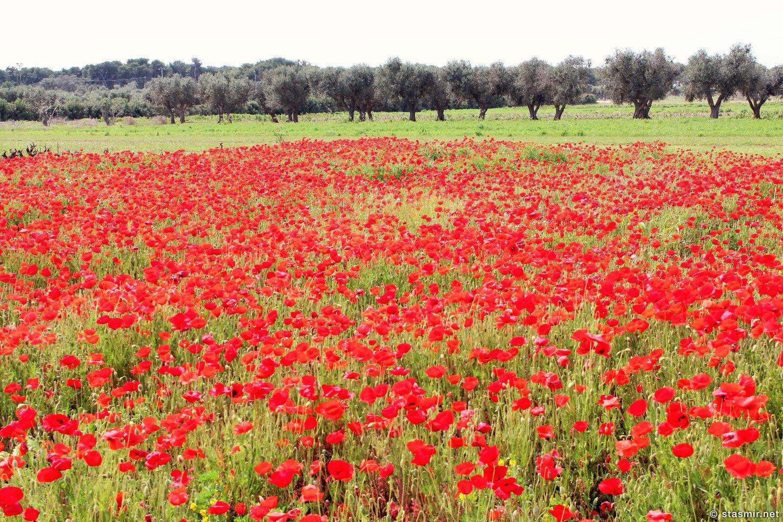 маковые поля в Апулии, Южная Италия, фото Стасмир, Photo Stasmir