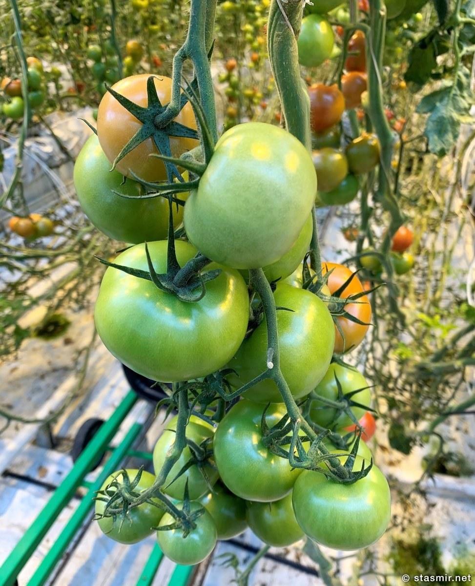 tomatos, Помидоры в теплице в Исландии, фото Стасмир, photo Stasmir
