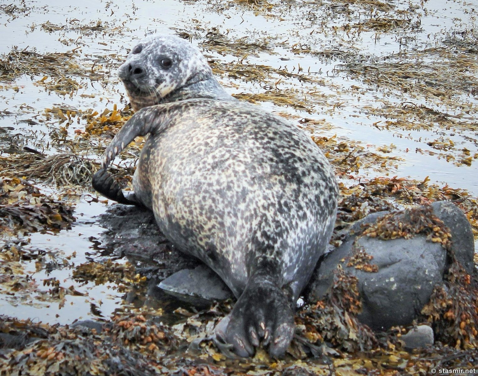 Útselur, Длинномордый тюлень в Западной Исландии, нерпы, котики, моржи, полуостров Снайфедльснес, фото Стасмир, Photo Stasmir