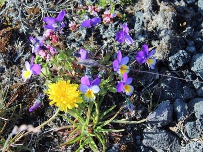 цветы Исландии, флора Исландии, летний цветочный покров Исландии, фото Стасмир, Photo Stasmir