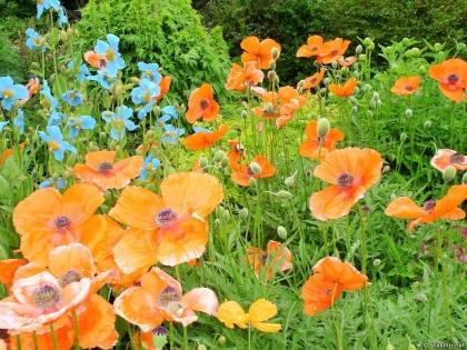 Arctic Botanical Gardens, Ботанический сад Акюрейри, Lystigarður Akureyrar, Акюрейри, исландские маки, цветы Исландии, Photo Stasmir
