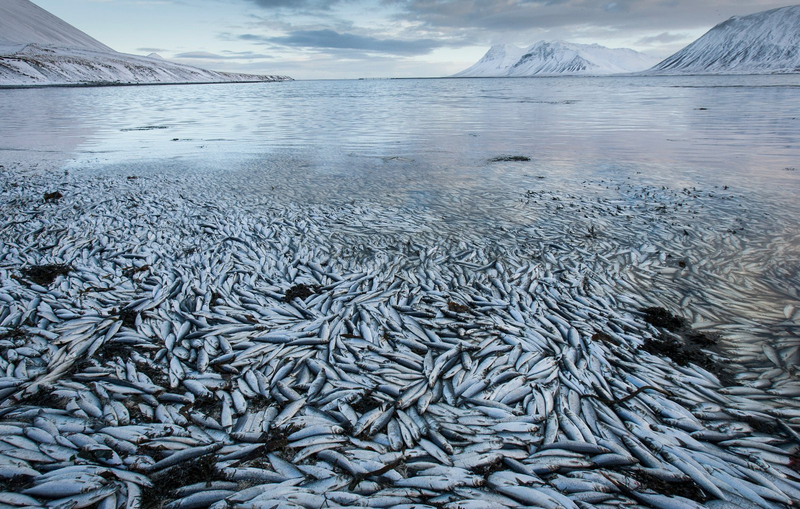 Iceland Fish Deaths (AP Photo/Brynjar Gauti)