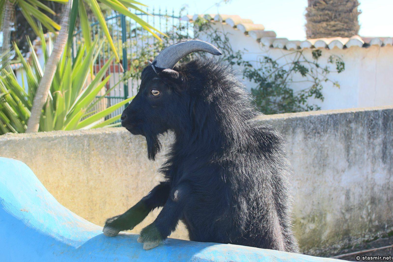 козел в Португалии, фото Стасмир, photo Stasmir
