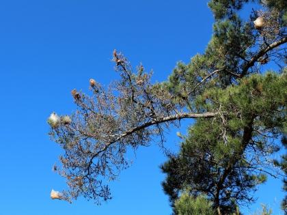 кокон гусениц-процессионарий в Португалии, фото Стасмир, Photo Stasmir