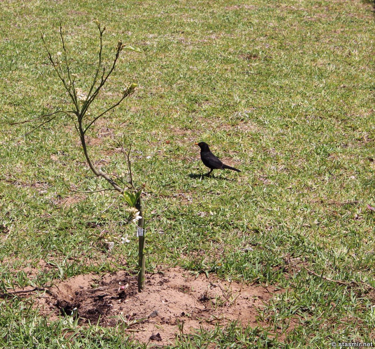 blackburd, common thrush, turdus, черный дрозд, фото Стасмир, photo Stasmir