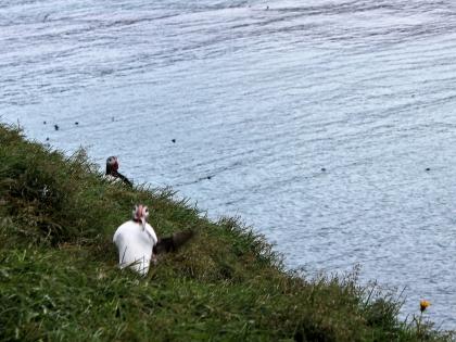 тупики питаются на скале в порту в городке Боргарфьёрдюр-Эйстри, Фото Стасмир, Photo Stasmir