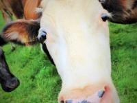 корова, Исландия, животноводство в Исландии, туры в Исландии, photo Stasmir