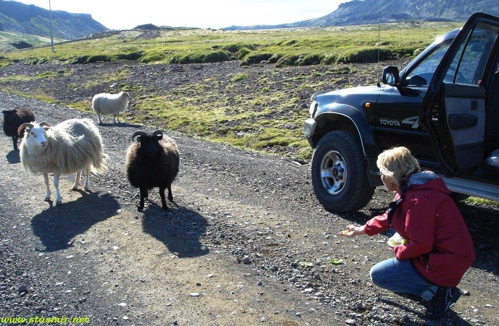 sheep feeding