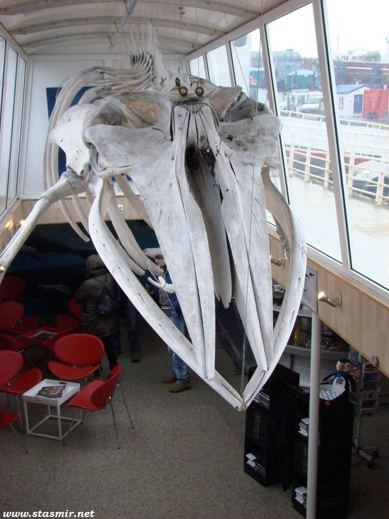 китовый череп, whalehead