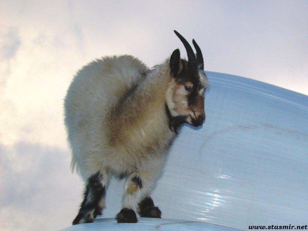 merry goat