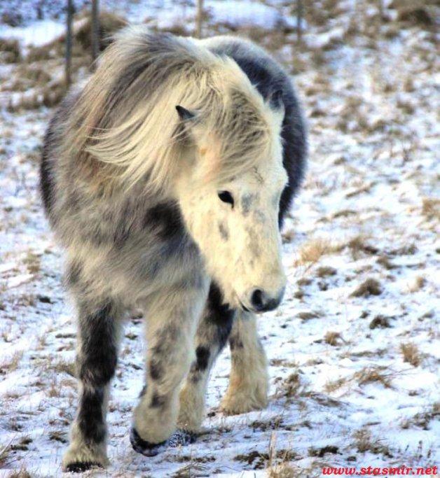 hestur