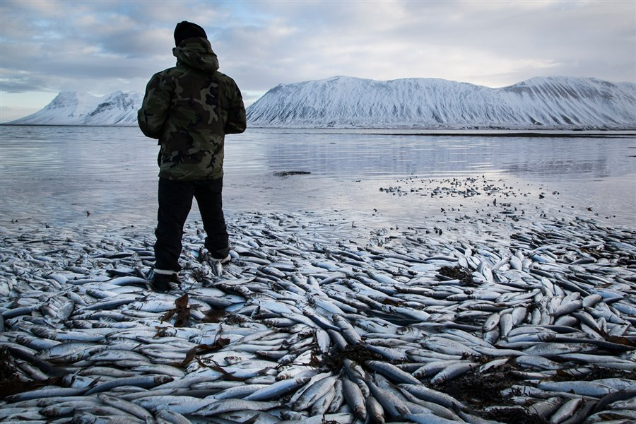 rolling herring