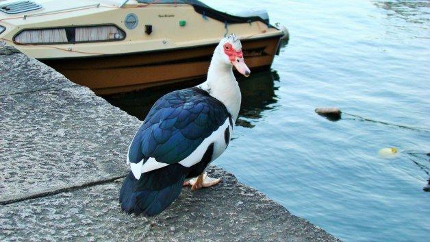индоутка озеро Маджоре, Лаго-Маджоре, фото Стасмир, Photo Stasmir, Каннобио, Lago Maggiore