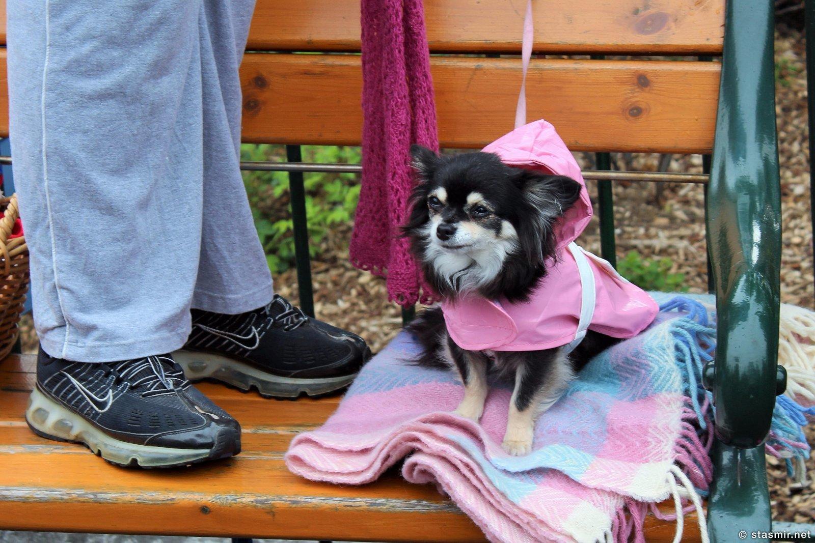 И маленькая собачонка, Гей-прайд 2015, Рейкьявик, животные Исландии, собаки в Исландии, городская жизнь в Исландии, Рейкьявик, праздники, шествия, столица Исландии, лето в Исландии, гей-прайд 2015, Photo Stasmir