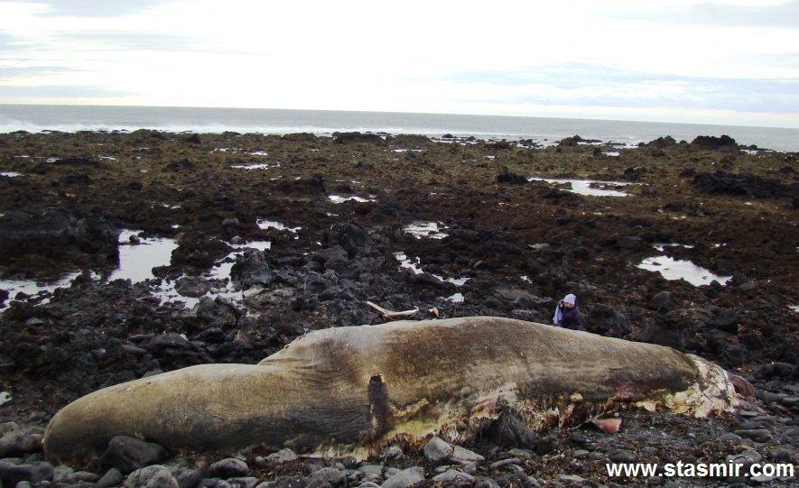 Beached whale at Snæfellsnes, Кит-самоубийца, полуостров Снайфедльснес, кит выбросился на берег Исландии, фото Стасмир, photo Stasmir, Hið Íslenzka Reðasafn