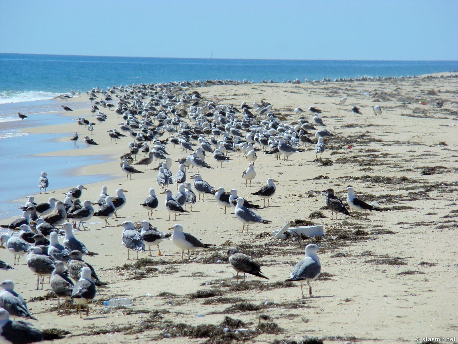 птицы на Ria Formosa или Риа-Формоза, Ilha Deserta, Algarve, пляж в Алгарве, фото Стасмир, Photo Stasmir