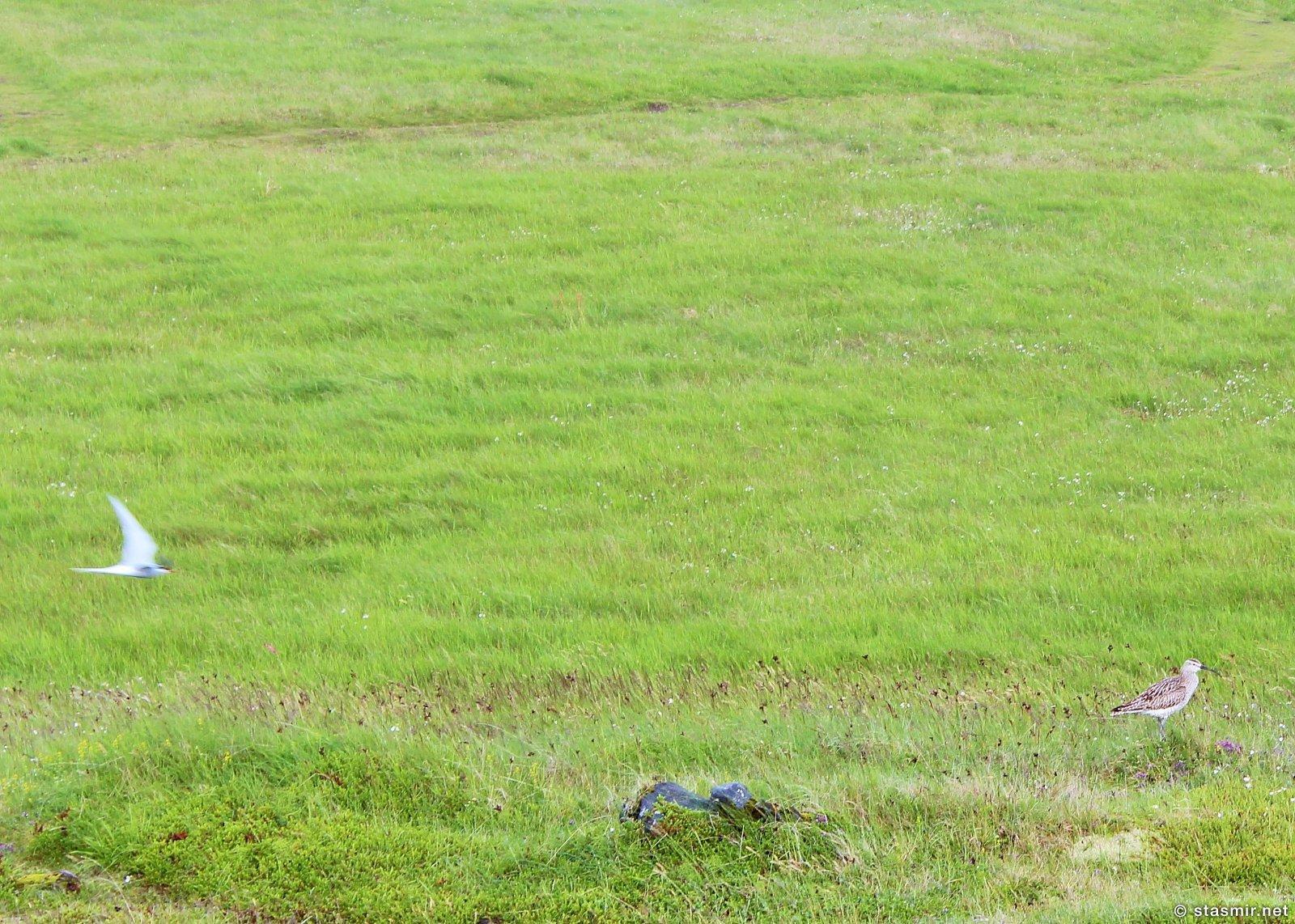 golden plover, крачка и золотистая ржанка, фото Стасмир, Photo Stasmir, Arnastapi