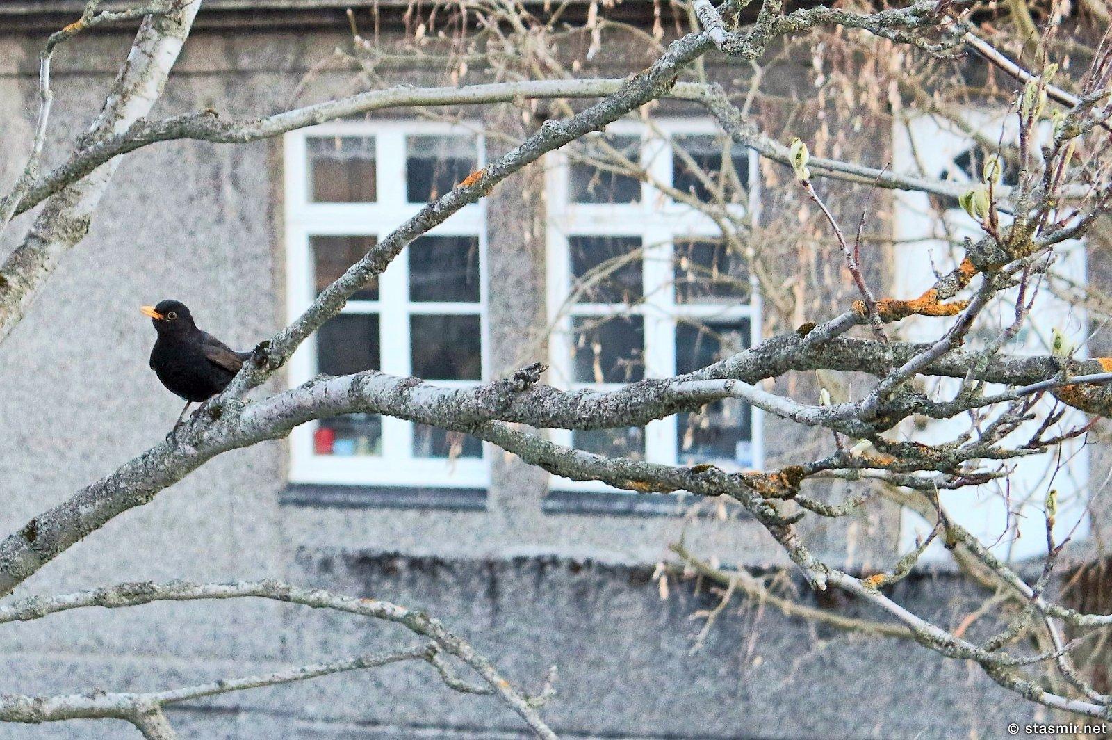 ЧЕРНЫЙ ДРОЗД поет за моим окном в Исландии, май 2016 года, фото Стасмир, photo Stasmir
