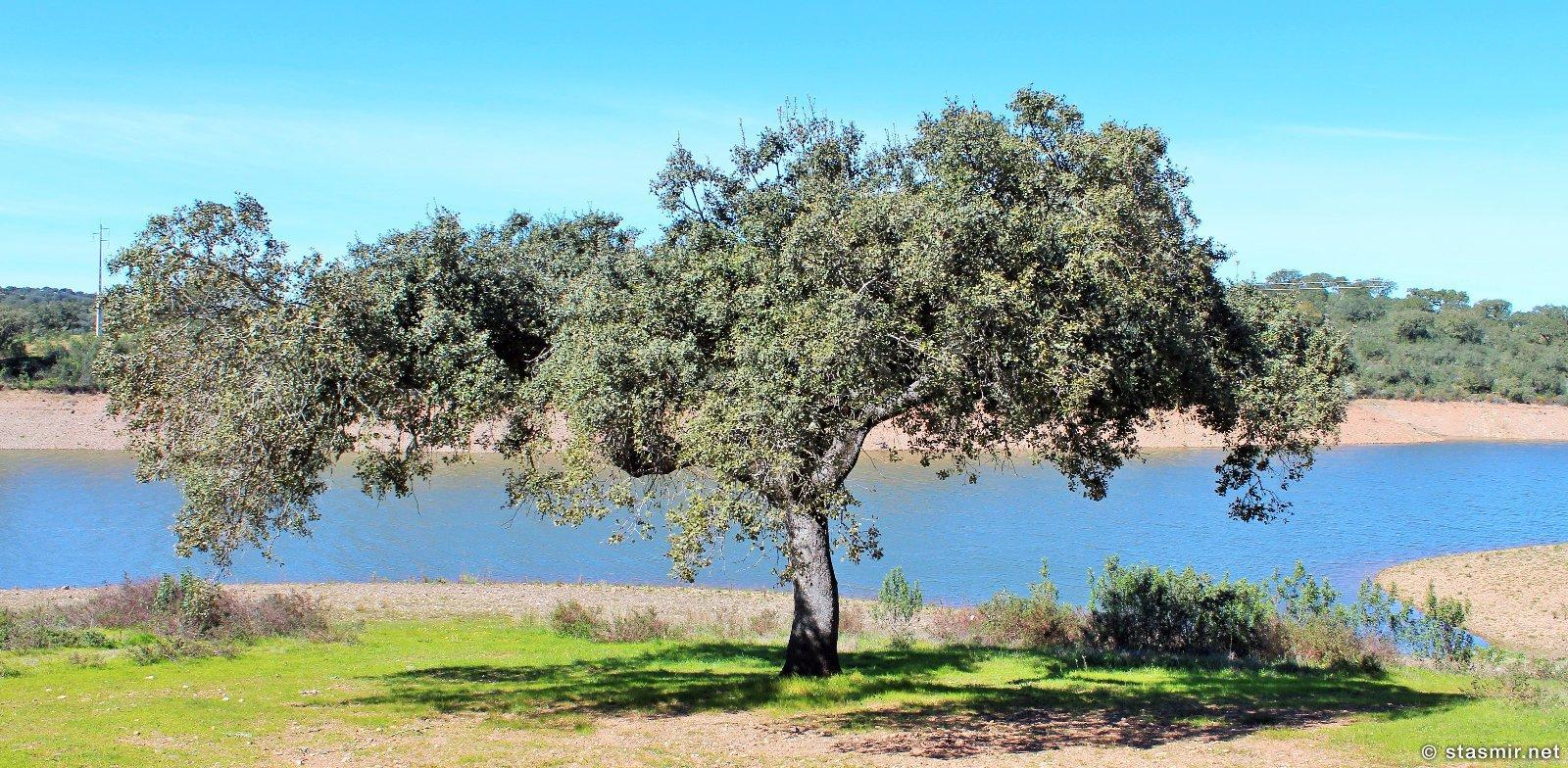 пробковый дуб или sobreiro где-то в провинции Алентежу в Португалии, фото Стасмир, photo Stasmir