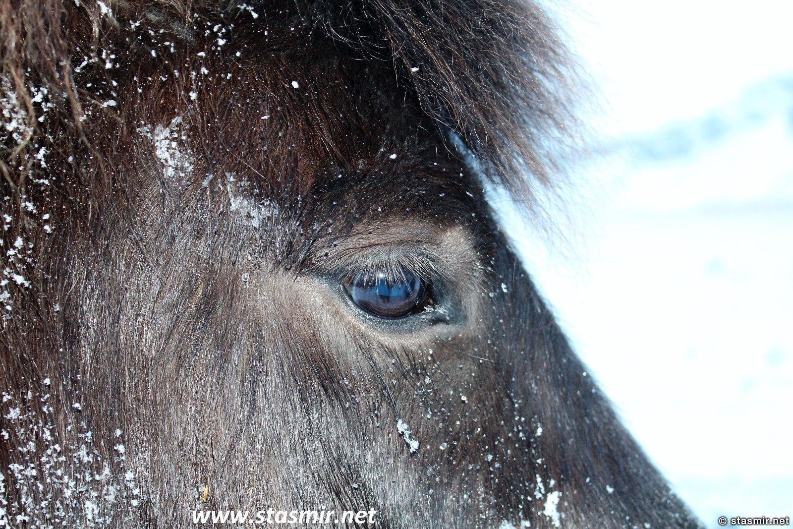 глаза исландской лошадки, исландская порода лошади, исландские лошади зимой, фото Стасмир, photo Stasmir