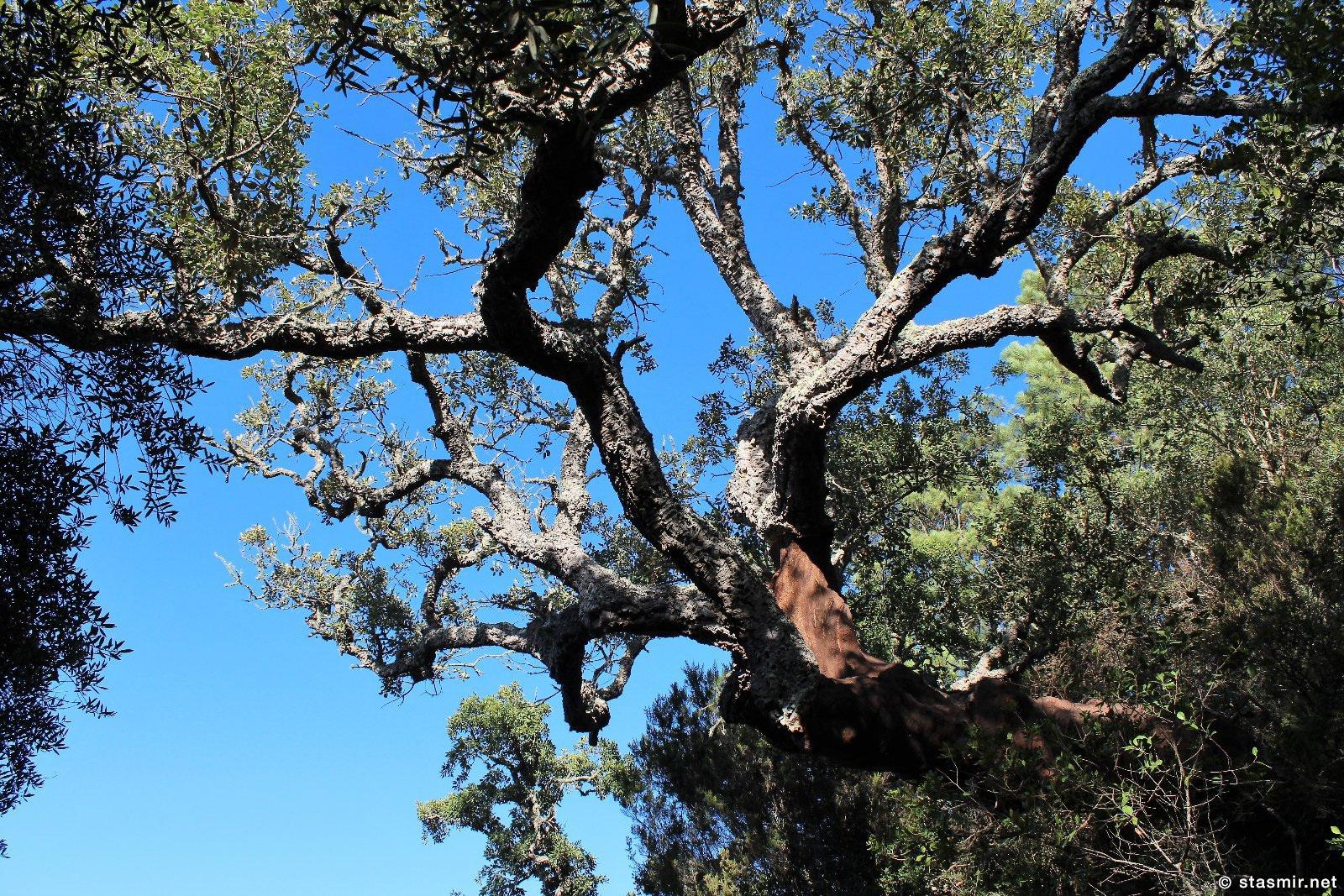 пробковый дуб на тропе Рота Висентина в Португалии, фото Стасмир, photo Stasmir