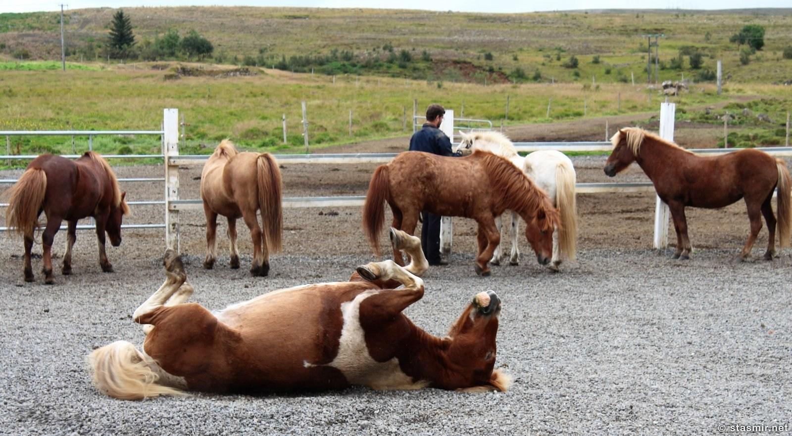 исландские лошадки на заслуженном отдыхе после трудового дня, фото Стасмир, photo Stasmir