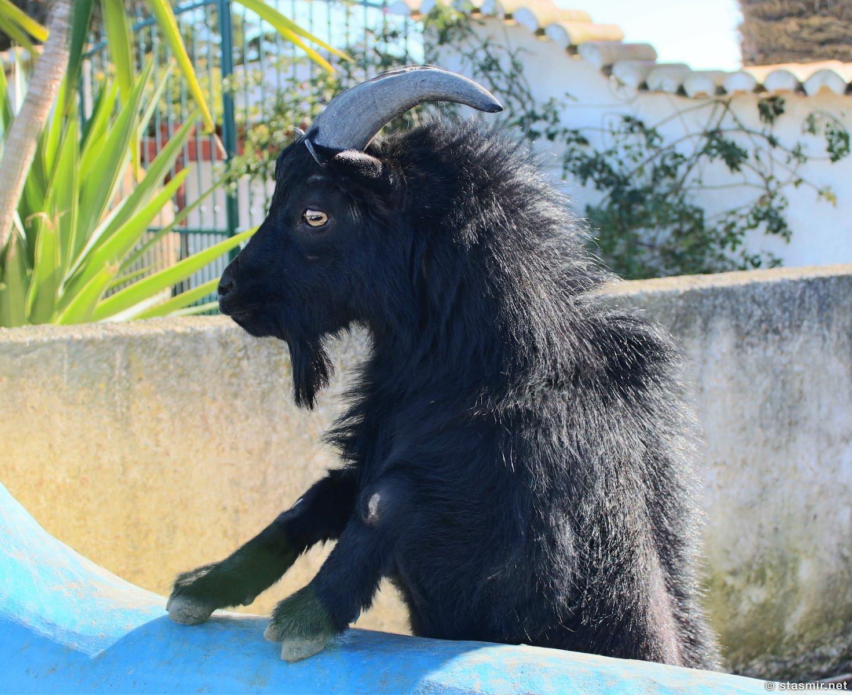 черный козел в Южной Португалии, Алгарве, фото Стасмир, photo Stasmir