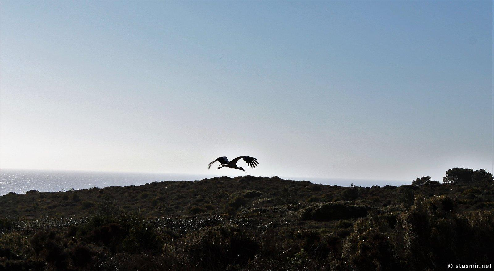 Аист, летящий над Коштой Висентиной на юго-западе Алгарве, Португалия, фото Стасмир, photo Stasmir