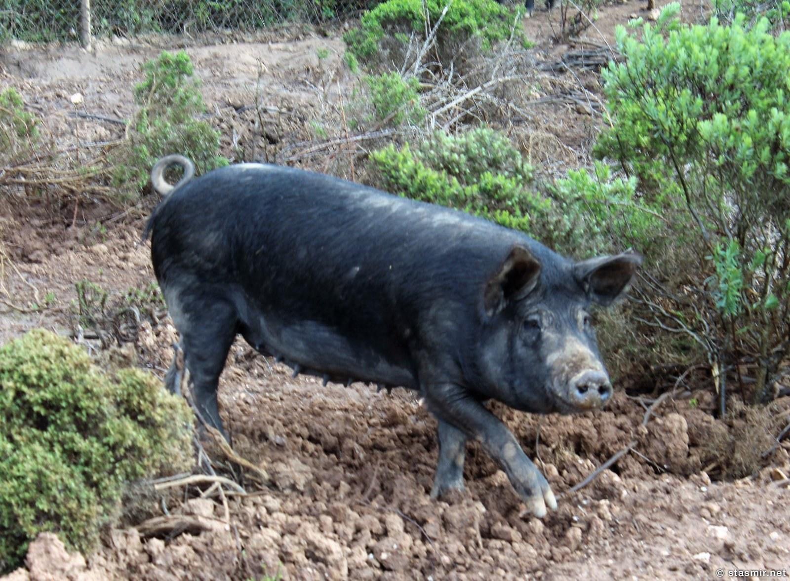 черная иберийская свинья в Алжезуре, Португалия, фото Стасмир, Photo Stasmir