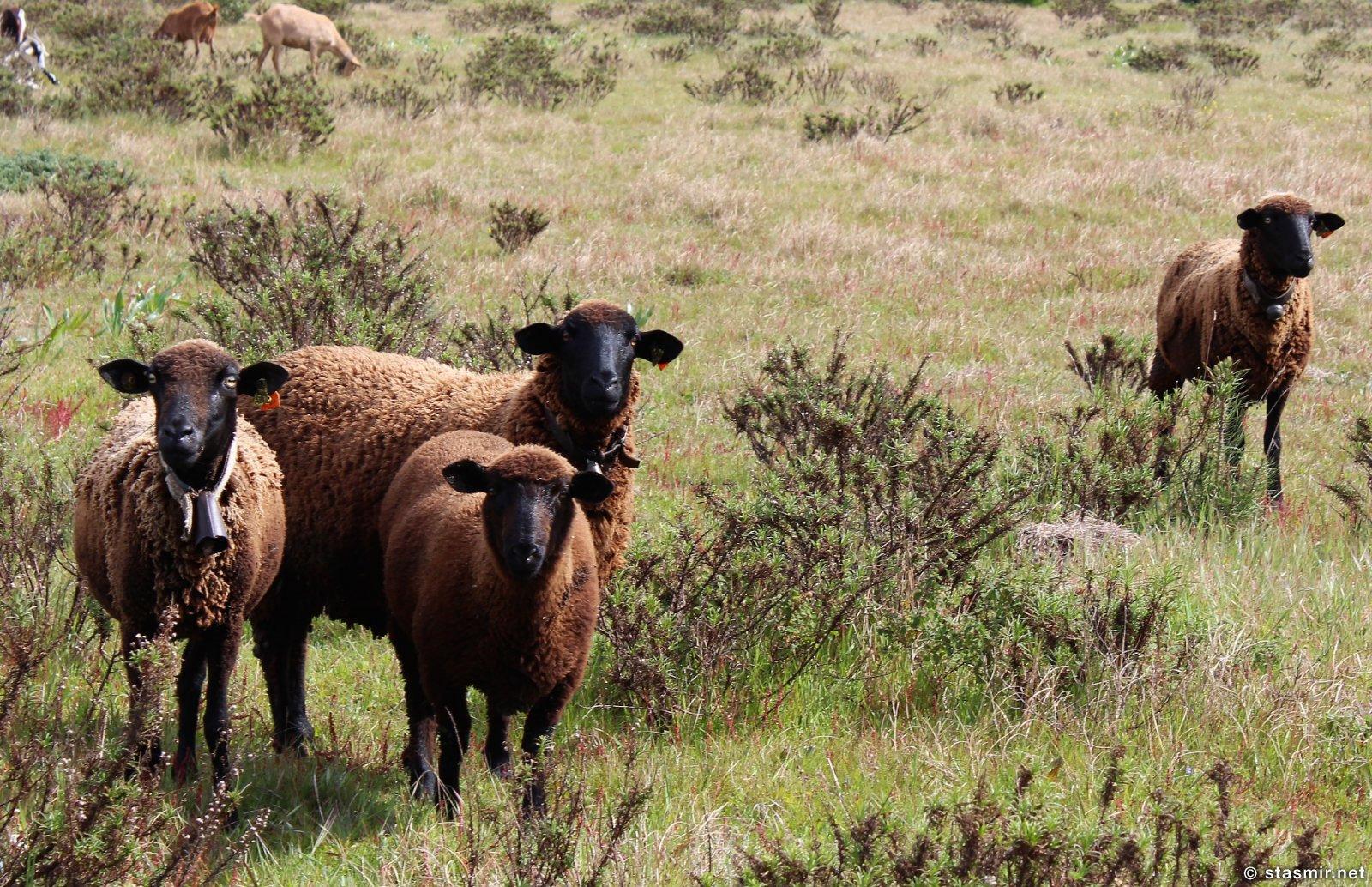 овцы в Португалии, фото Стасмир, Photo Stasmir