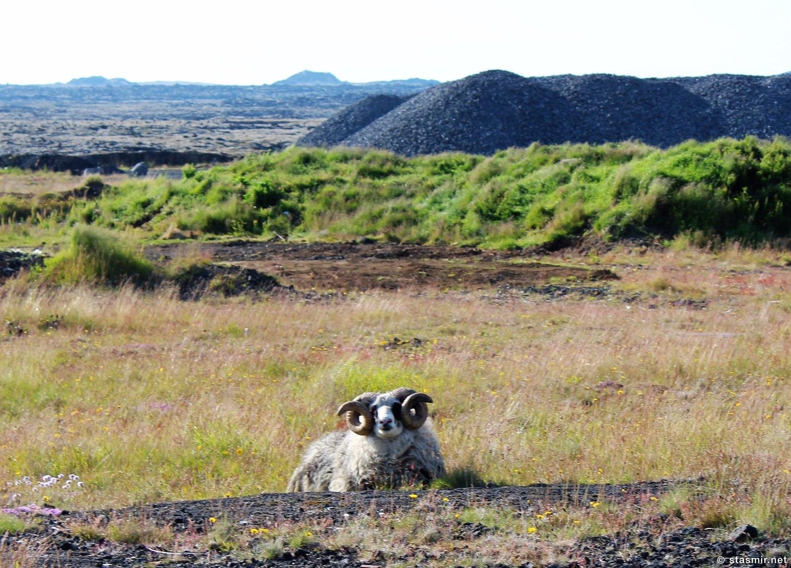 Исландский баран, исландская порода овцы, фото Стасмир, photo Stasmir