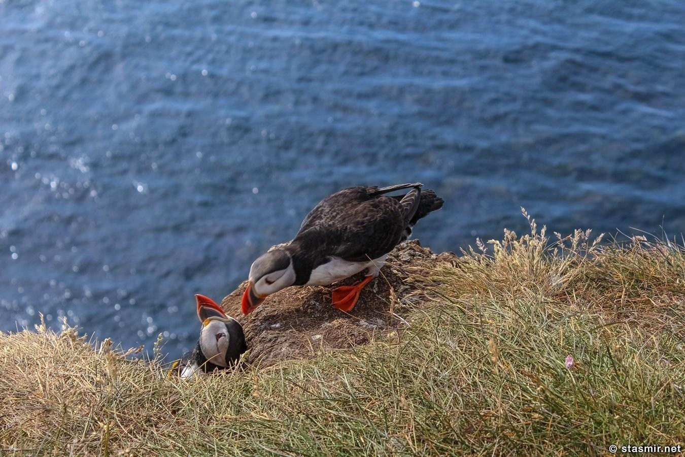 поцелуй тупиков на самой длинной скале в Европе, puffins, lundi, Вестфирдир, Vestfirðir, West Fjords, Photo Stasmir, Фото Стасмир, Фото Станислав Смирнов, Photo Stanislav Smirnov
