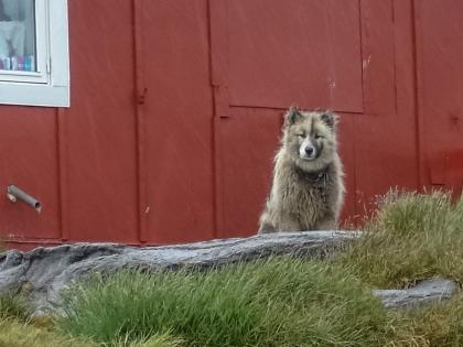Гренландия, Greenland, Кулусук, Kulusuk, гренландская собака, фото Стасмир, photo Stasmir, хаски