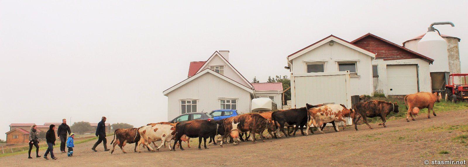 коровы на исландской ферме, фото Стасмир, photo Stasmir