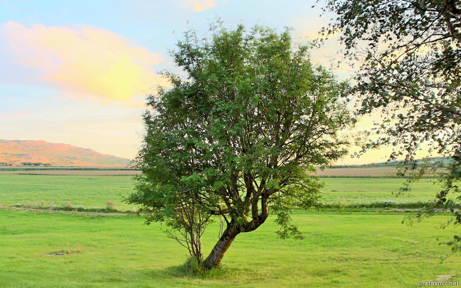 Могучие деревья на ферме Нес, Рейкхольт, фото Стасмир, photo Stasmir, Серебряное кольцо Исландии