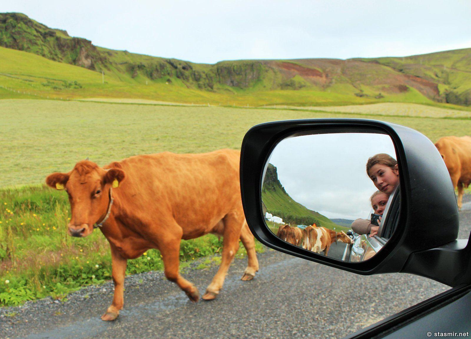 исландские коровы, Южный Берег Исландии, фото Стасмир, photo Stasmir