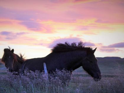 Исландсие лошадки на ферме Нес, Рейкхольт, фото Стасмир, photo Stasmir, Серебряное кольцо Исландии
