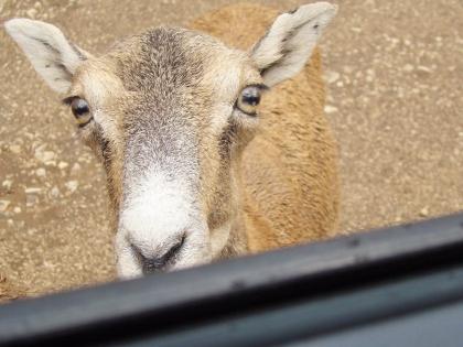 Тревожные глаза козы в Южной Италии вопрошают