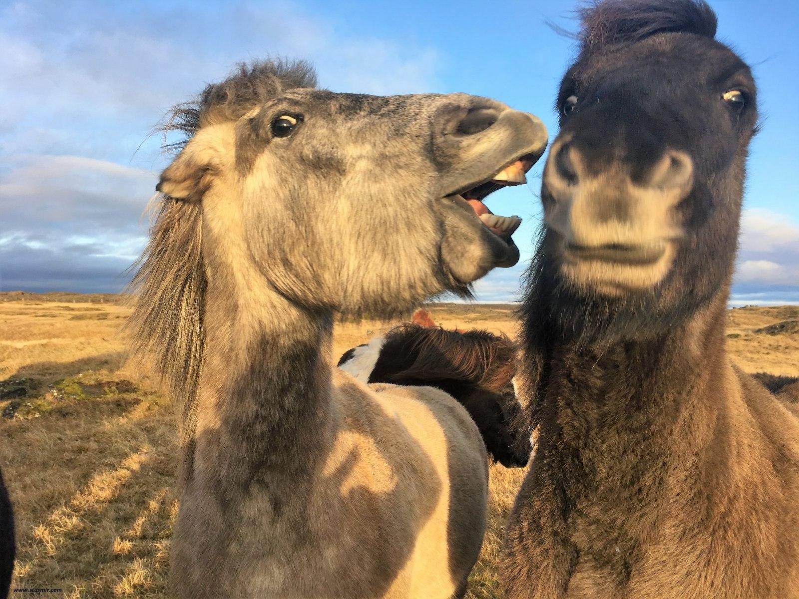 Исландские лошадки спорят о выборах в США, фото Стасмир, photo Stasmir