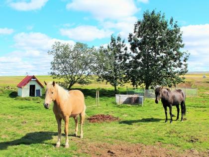 ислансдкая порода лошадей, фото Стасмир, photo Stasmir