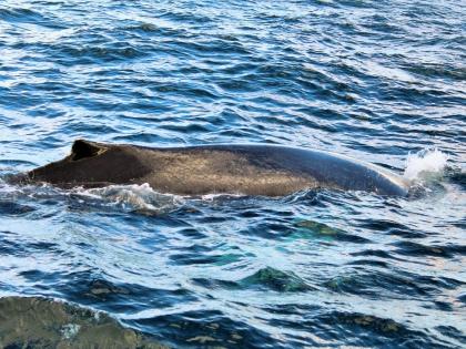 полосатик ныряет в заливе Факсафлоуи, фото Стасмир, photo Stasmir