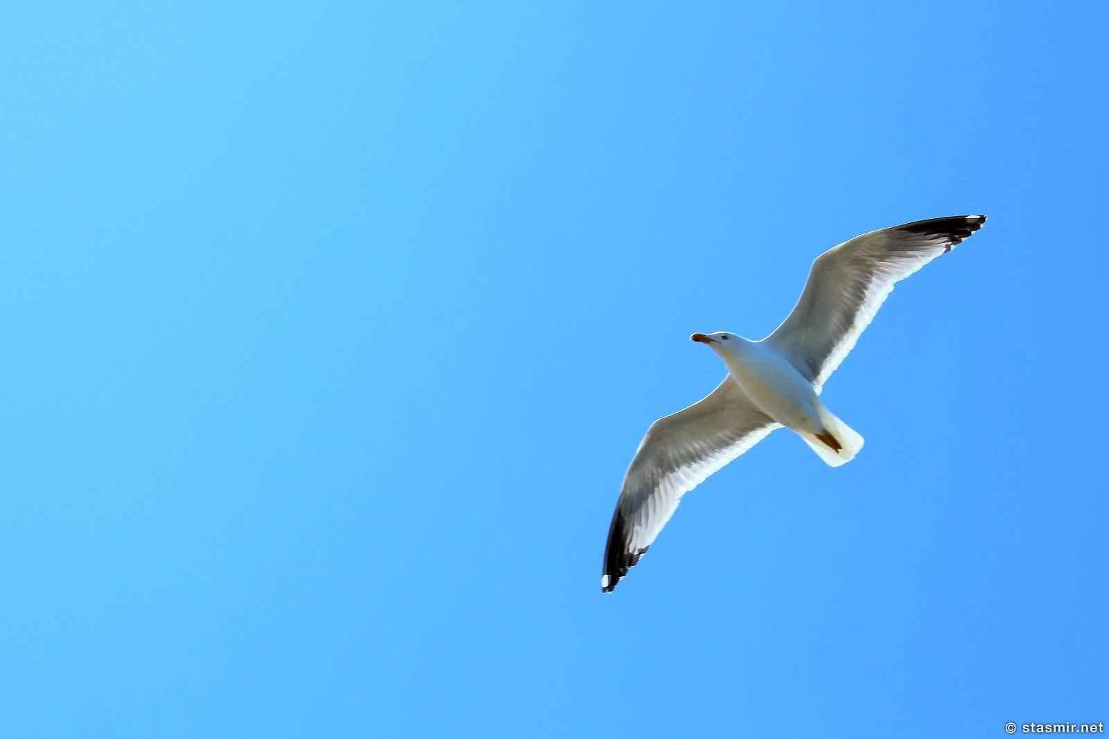 Чайка, Mávurinn, seagull, реет чайка, фото Стасмир, Photo Stasmir