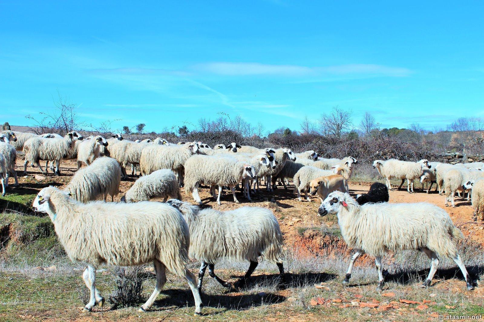Для разнообразия - португальские, а не исландские бараны, фото Стасмир, photo Stasmir