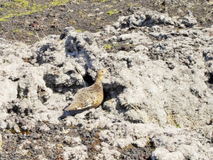 куропатка в полях лавы, Landmannalaugar, Ландманналёйгар, Лундаманналаугар, джип-сафари, Исландия, фото Стасмир, photo Stasmir,